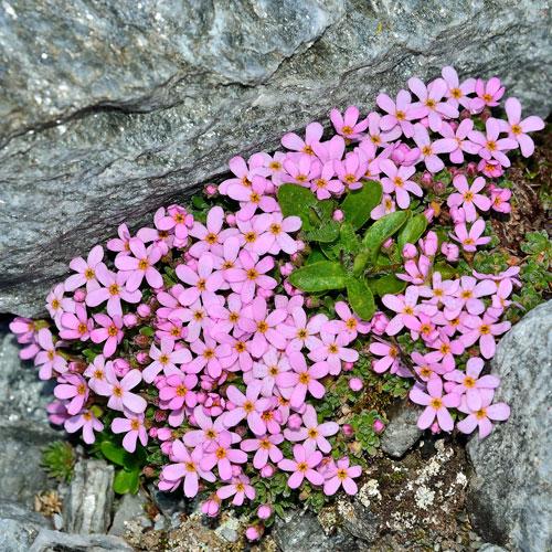 Mehlprimel Österreich: Sommer Blumen 2017 Phila Punkt 5 Cent